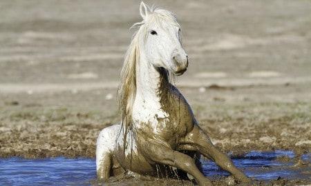 mud-horse