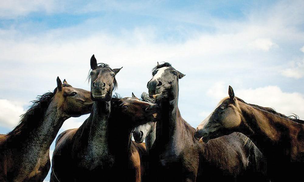 Nokota Horses