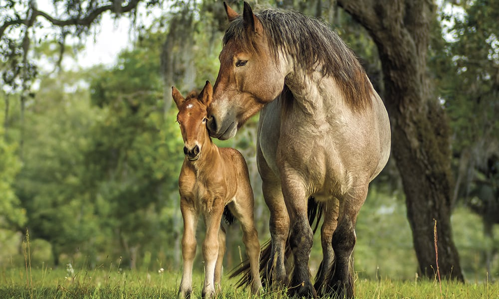 ardennes horse