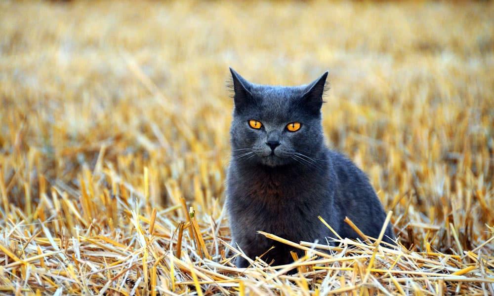 Cowgirl - Barn Cat
