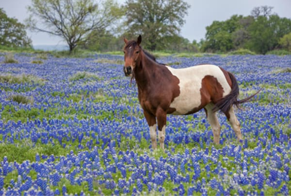 Horse-in-Texas-bluebonnets