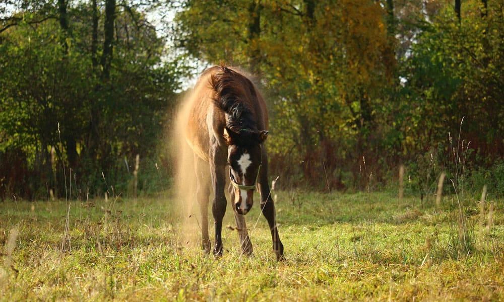 Cowgirl - Dusty