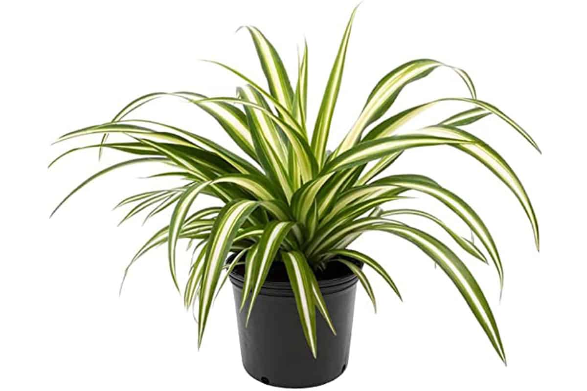 spider plant Cowgirl Magazine